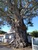 der alte Ficus